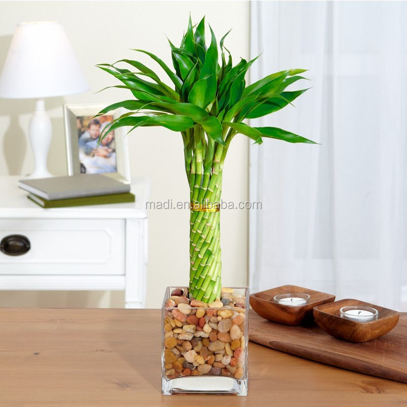 Natural Plants Lucky Plants For Home - Buy Lucky Bamboo Feng Shui ...