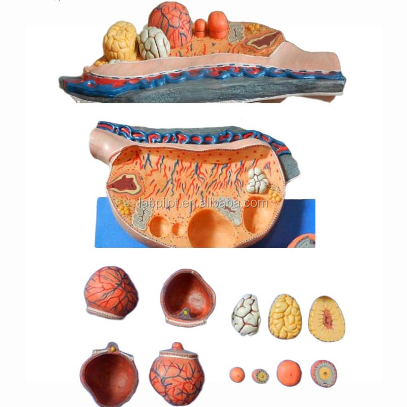 Muy detallada ovarios anatomía enseñanza ovario modelo-Ciencia ...