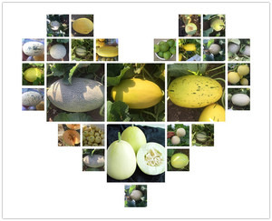 Chinese Extremely early variety rock Melon Seeds