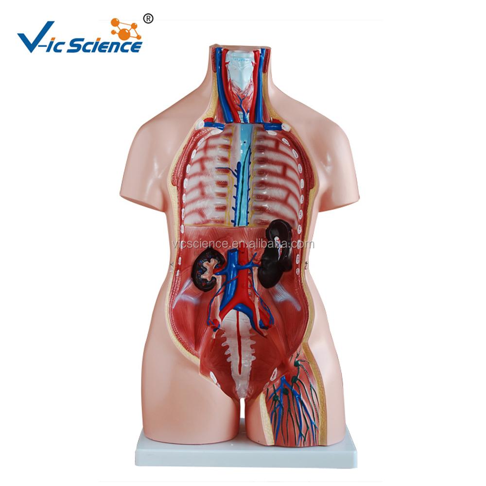 Médico 85 cm 40 piezas torso anatomía-Otros suministros de escuela y ...