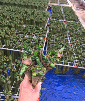 Dracaena Compacta Lotus Bamboo Stick Nursery