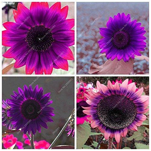 60pcs/bag Rare Purple Sunflower Seeds Bonsai Charming Annuus Helianthus Potted Garden Flower Plant for Home Garden Planting