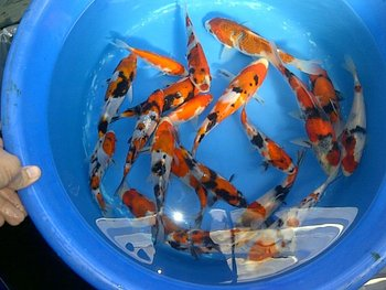 Koi for sale buy live koi fish product on for Bulk koi for sale