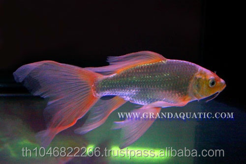 Butterfly Koi Fish For Sale / Aquarium Fish Export