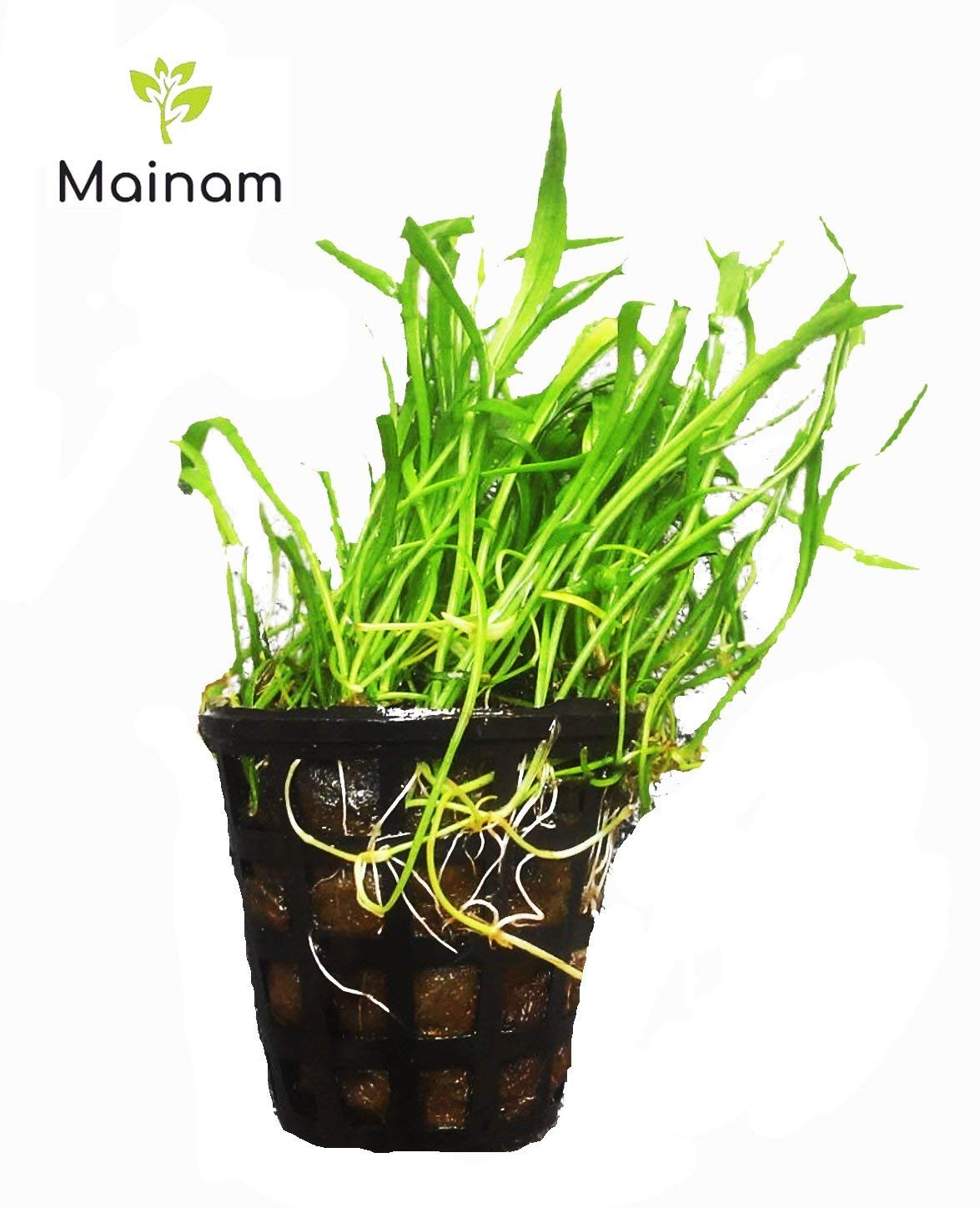 Mainam Lilaeopsis novaezelandiae Micro Sword Copragrass Narrow Leaf Potted Live Aquarium Plant for Aquatic Freshwater Fish Tank Decoration 3 DAYS LIVE GUARANTEED By