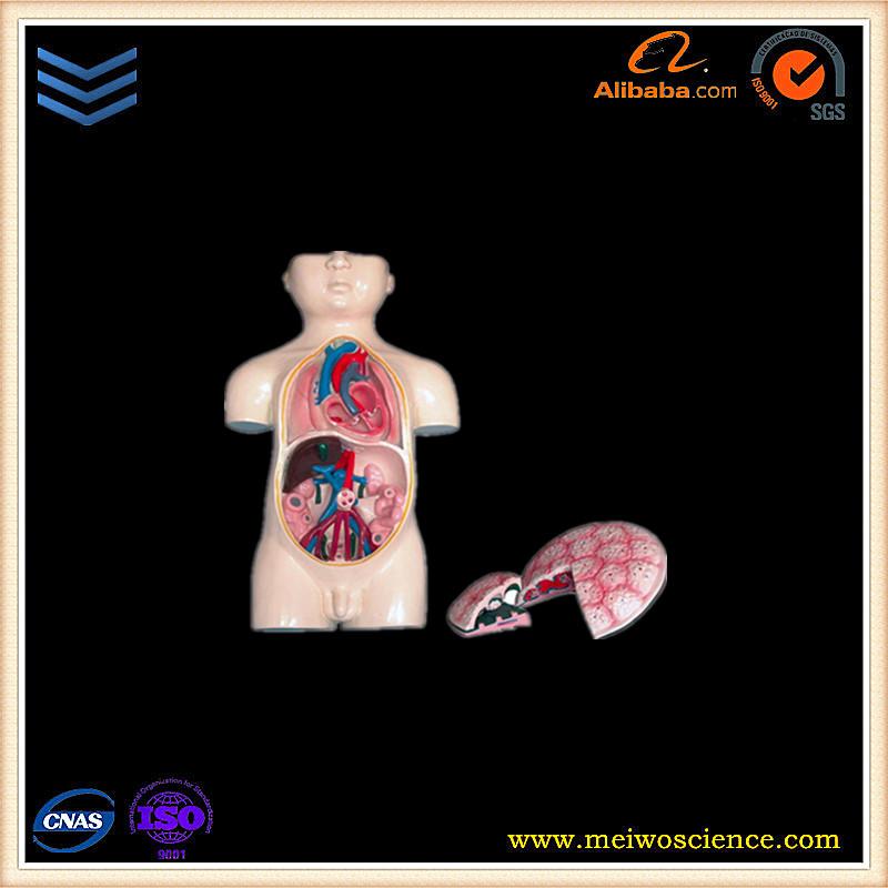 Finden Sie Hohe Qualität Menschlichen Plazenta Anatomie Modell ...