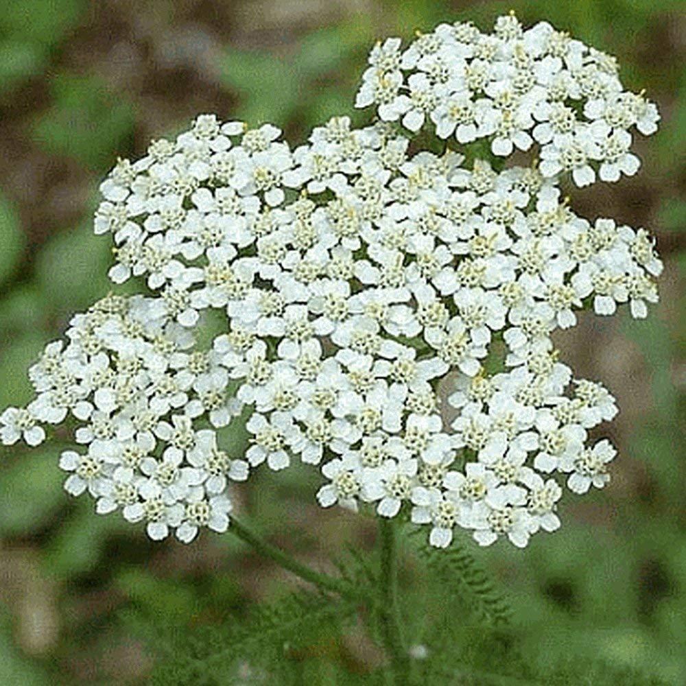 Everwilde Farms - 2000 White Yarrow Native Wildflower Seeds - Gold Vault Jumbo Seed Packet