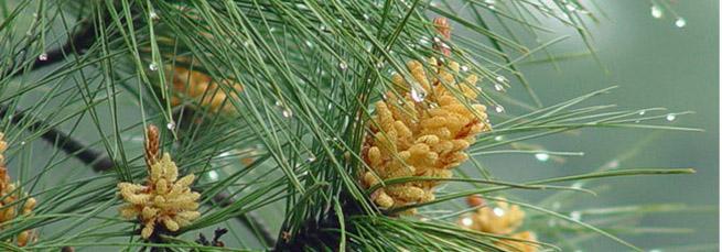 polline di pino e salute della prostata