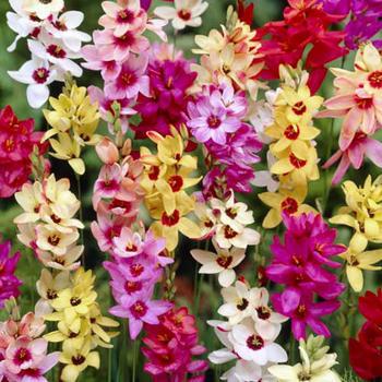 Ixia Flower Bulbs Mix Flower Bulbs