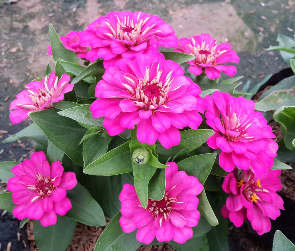 World Top Quality Flower Seeds Hybrid F1 Zinnia Flowers Seeds For