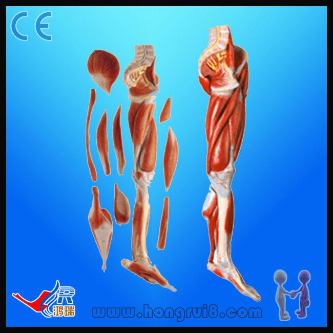 Avanzada Inferior Musculoso Pierna Con Rodilla (10 Partes),Anatomía ...