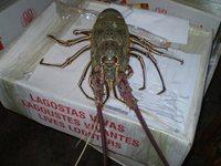 Spiny Green Lobster
