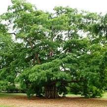 Robinia pseudo acacia-Locust Tree(Qg) Seeds ,Black Locust, Seeds - See more at: http://chhajedgarden.com/Trees---Medicinal-and-F