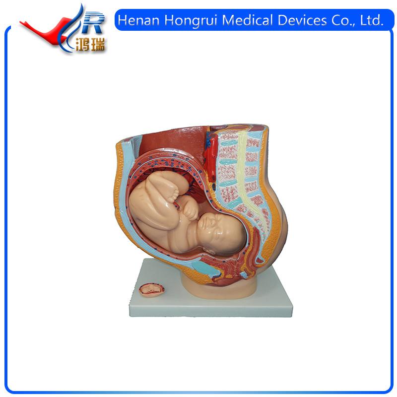 Classic Pregnancy Anatomical Modelteaching Anatomical Female Pelvis