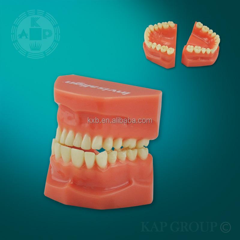 Equipo De Educación Modelo Dental/dientes Anatomía/falso Modelo De ...