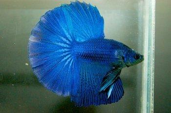 halfmoon betta buy betta fish product on alibaba com