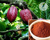 Best quality nature organic theobroma cacao extract with theobromine