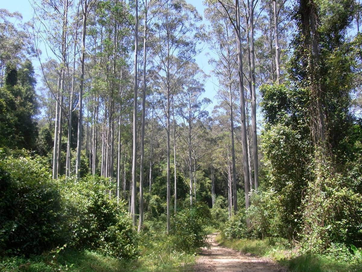 TIMOR WHITE GUM Eucalyptus Alba SEEDS 100