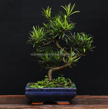 Podocarpus Macrophyllus Mini Bonsai 15cm S Shape Bonsai Trees Live Plant Indoor Plant Buy Podocarpus Indoor Plant Bonsai Product On Alibaba Com