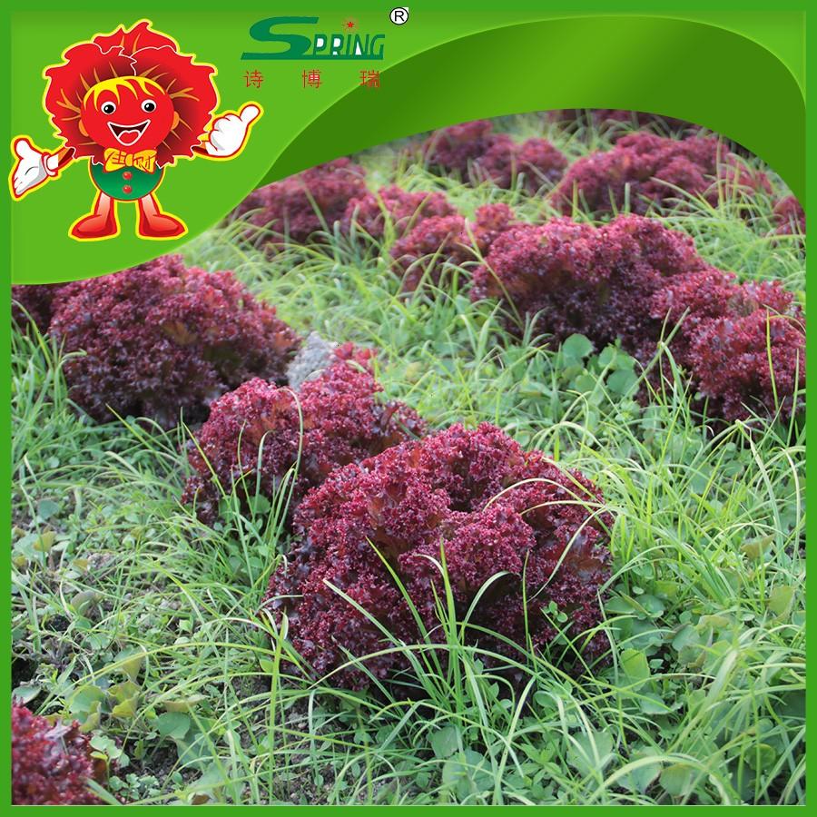 Hot Selling Red Leaf Lettuce Limited Fertilizer Planting Type Best ...