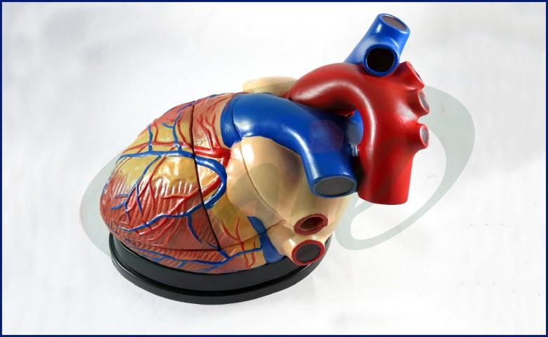 Rubber Heart Model Human Heart Anatomy Model Jumbo Human Heart Model