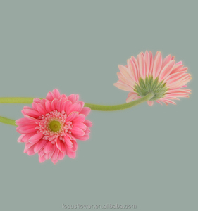 Preserved Fresh Flower hobby lobby wholesale flowers polka dot gerbera daisy for blessing