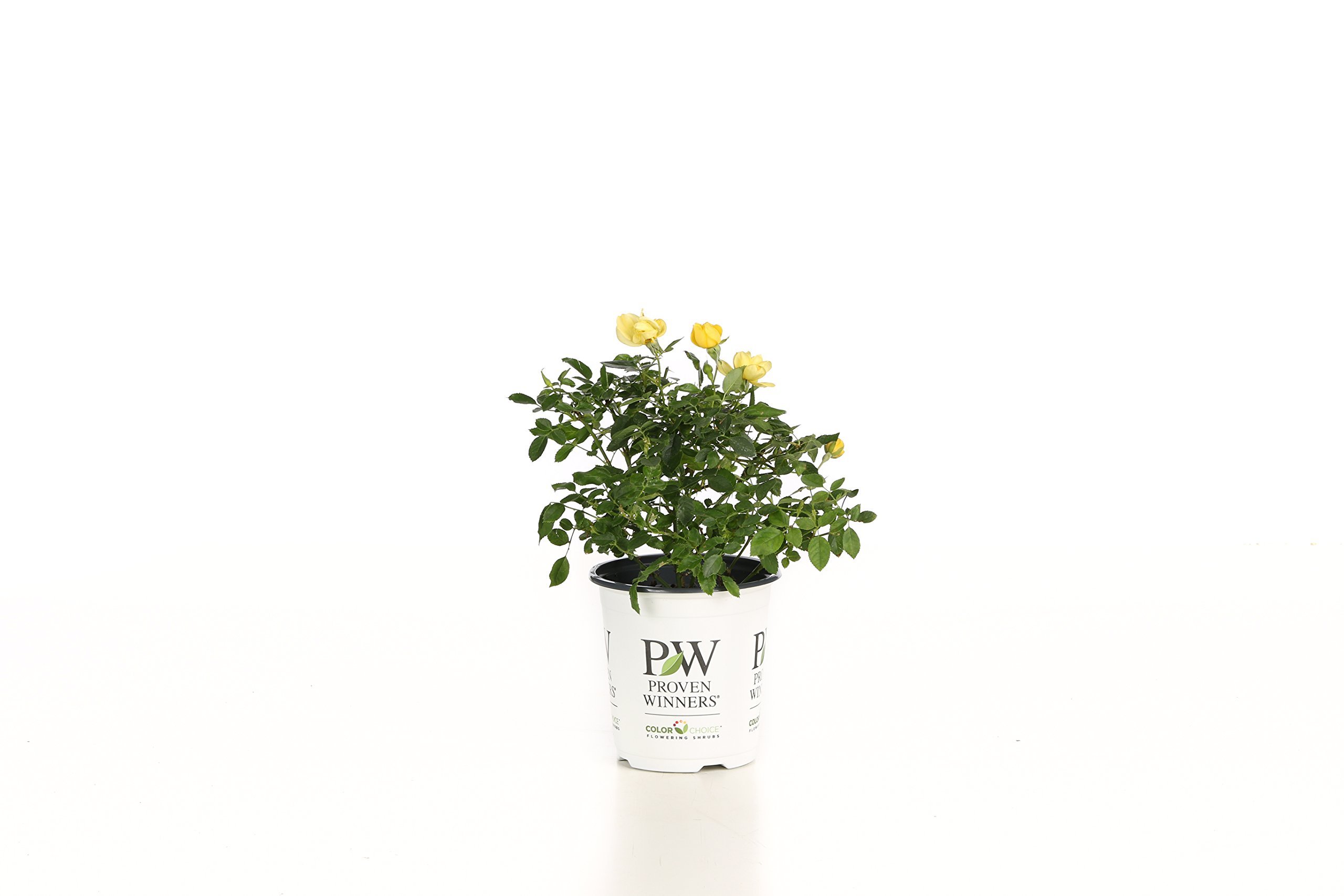 Cheap Shrub Yellow Flowers Find Shrub Yellow Flowers Deals On Line