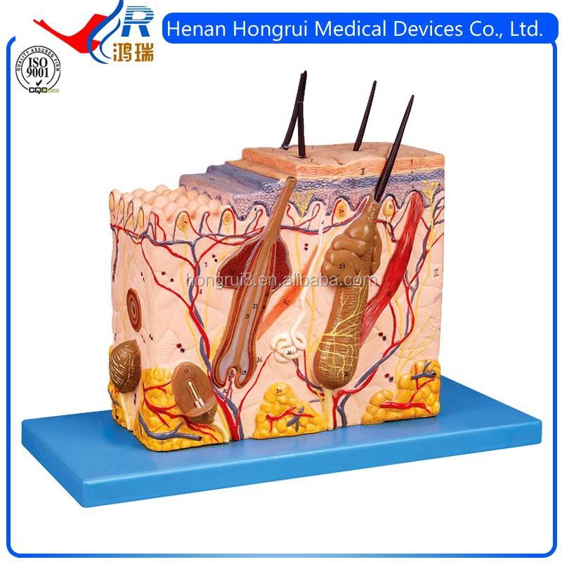 Iso Skin Structure Amplified Model,Skin Anatomy Model - Buy Skin ...