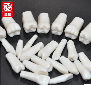 Replacement teeth model individue teeth 32pcs for practice Nissin Frasaco