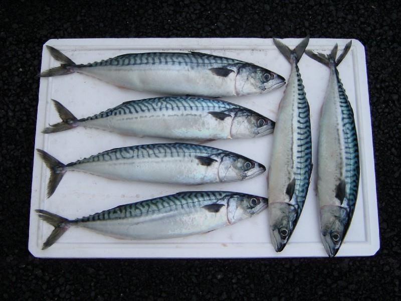 Wholesale IQF Frozen Mackerel Fish Prices