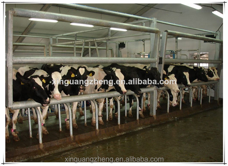 Prefabricated steel structure dairy farm shed for cow feeding industry