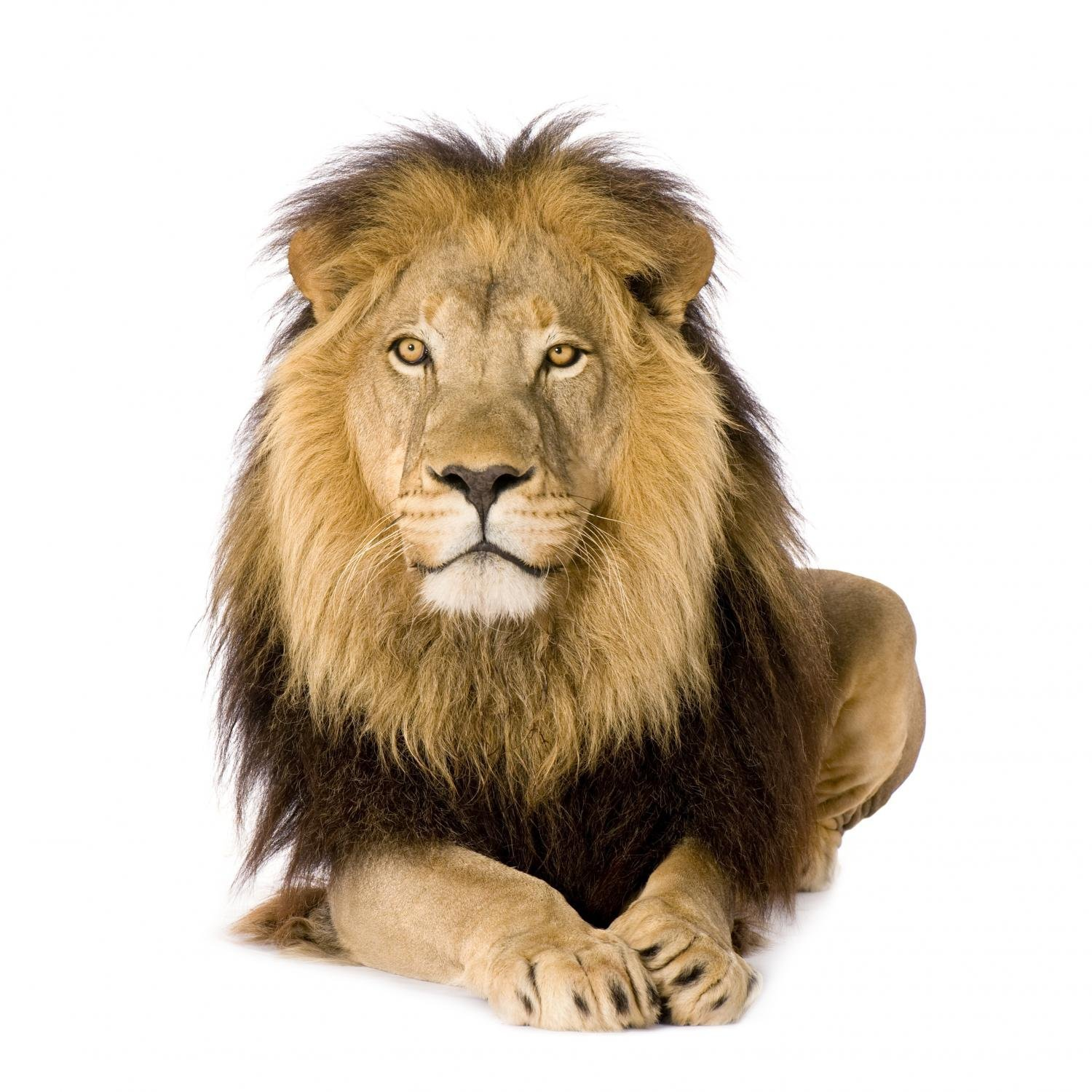"""Wallmonkeys Wall Decals FOT-8821507-24 """"WM264498 Lion 4 and a Half Years Peel and Stick"""" Wall Decals, 24""""H X 24""""W/Medium"""