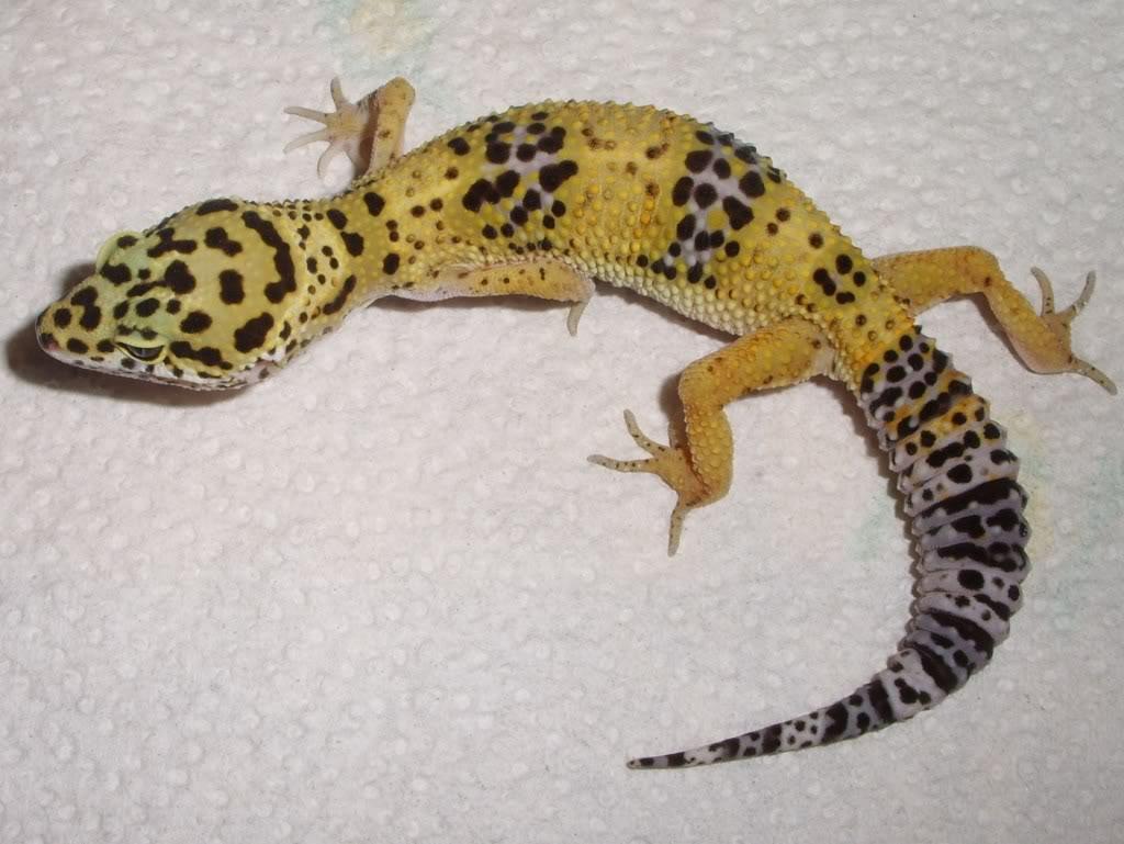 Hermosa Gecko Leopardo Para Colorear Imágenes - Enmarcado Para ...