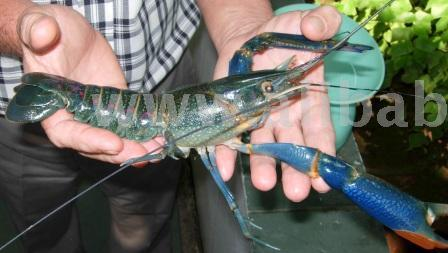 Freshwater Lobster / Crayfish
