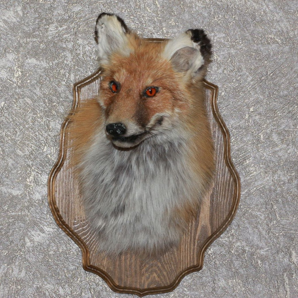 Buy Siberian Red Fox Taxidermy Head Shoulder Mount Stuffed Animal