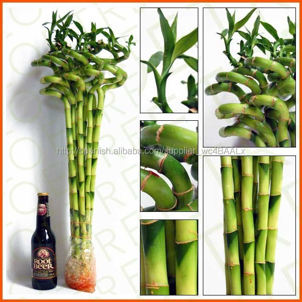 Plantas de interior espiral de bamb de la suerte - Plantas del interior ...