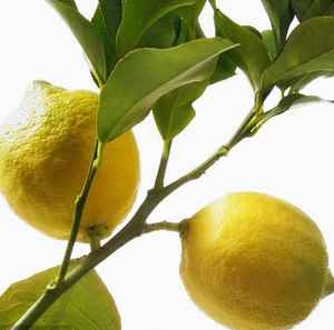 Ning Meng High Quality Natural Lemon Tree Seeds
