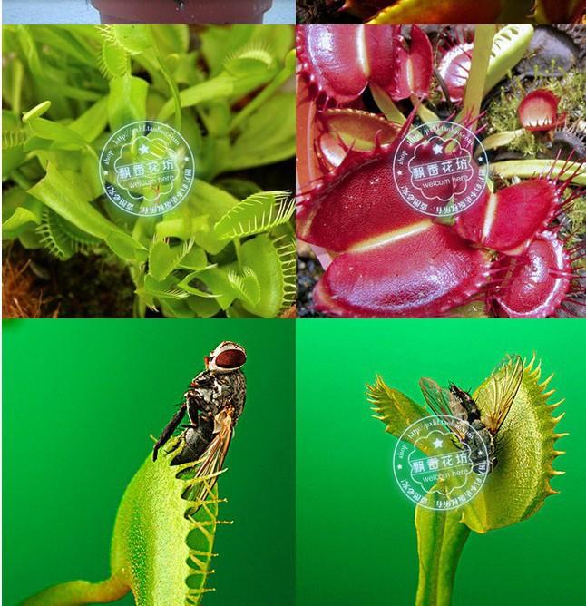 Giant venus fly trap flower