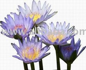 Dried Flowersteadried Herbsblue Lotus Teablue Lotus Dried Flower