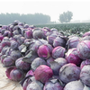 Chinese Fresh Vegetable red cabbage fresh purple cabbage