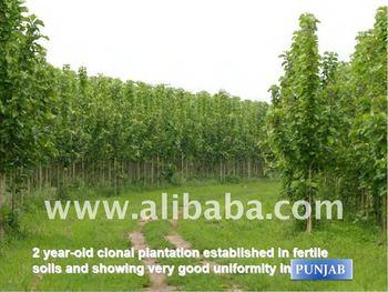 Sagwan Farming India Buy Sagwan Farming Product On Alibaba Com