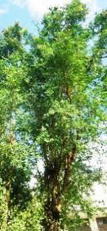Lawsonia Alba Seeds,Henna,Tree Mignonette,Egyptian Privet Seeds ...