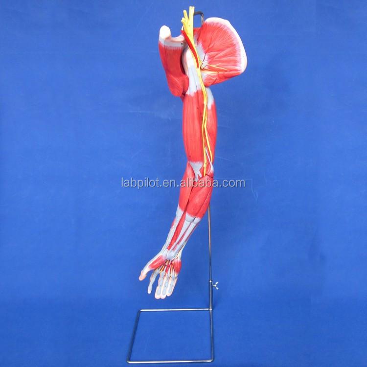 Muskeln Arm Mit Hauptgefäße Und Nerven,Armmuskulatur Modell - Buy ...