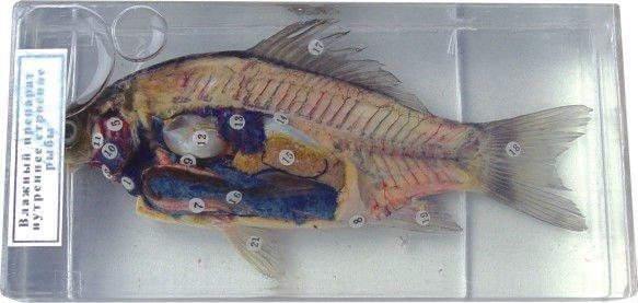 Anatomie Fisch Probe - Buy Erhalten Probe,Lehr-proben,Labor Probe ...
