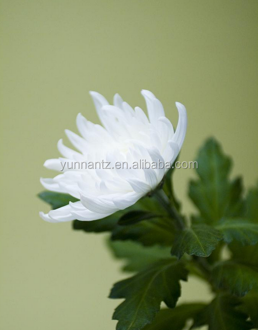 Fast Delivery Small MOQ colourful chrysanthemum With Good Service