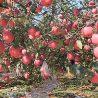 apple manufacturer exports high quality fresh new cropped red fuji apple