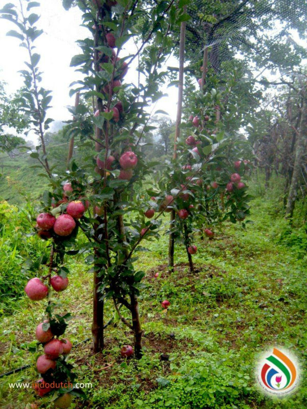 Apple Fruit Trees Buy Graftted Fruit Plants Product On Alibaba Com