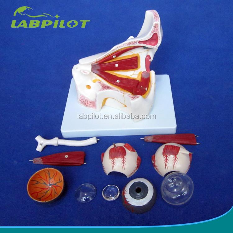 10 piezas globo ocular modelo de anatomía enseñanza, educación ...