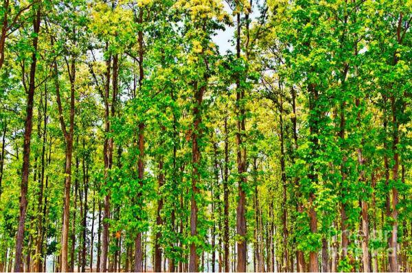 Shorea Robusta (sl) Seeds,??l Or Shala Tree Seeds Hindi: Sal,Salwa ...