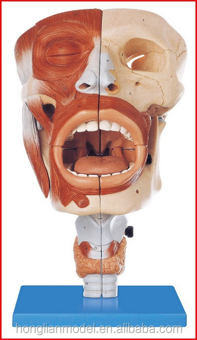 Gd/a13001 Nasal,Oral,Pharynx And Larynx About Head Anatomical Model ...